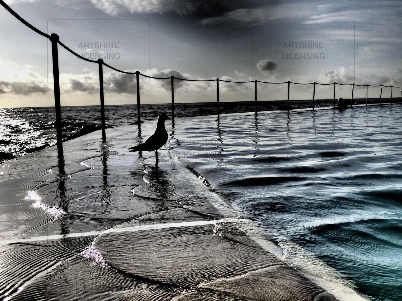 Bronte seagull
