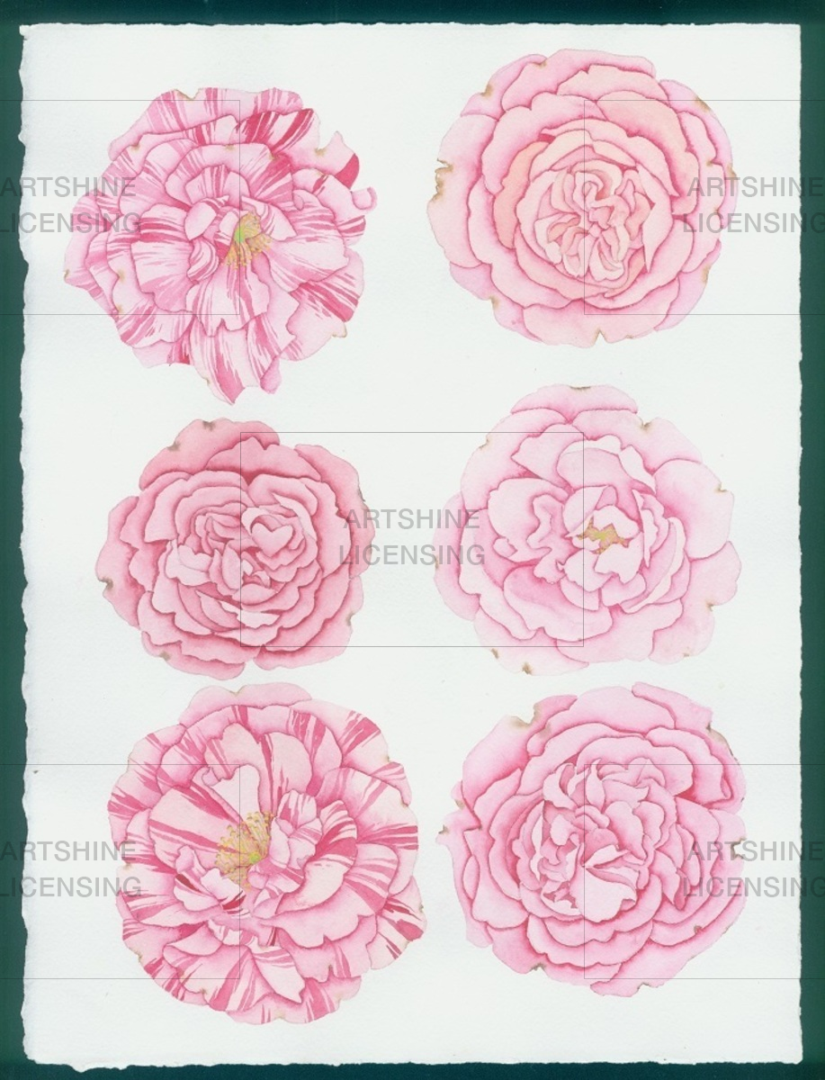 6 cabbage roses